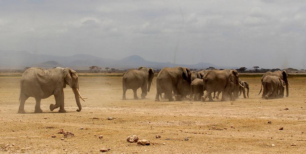 Amboseli National Park Elephant herds