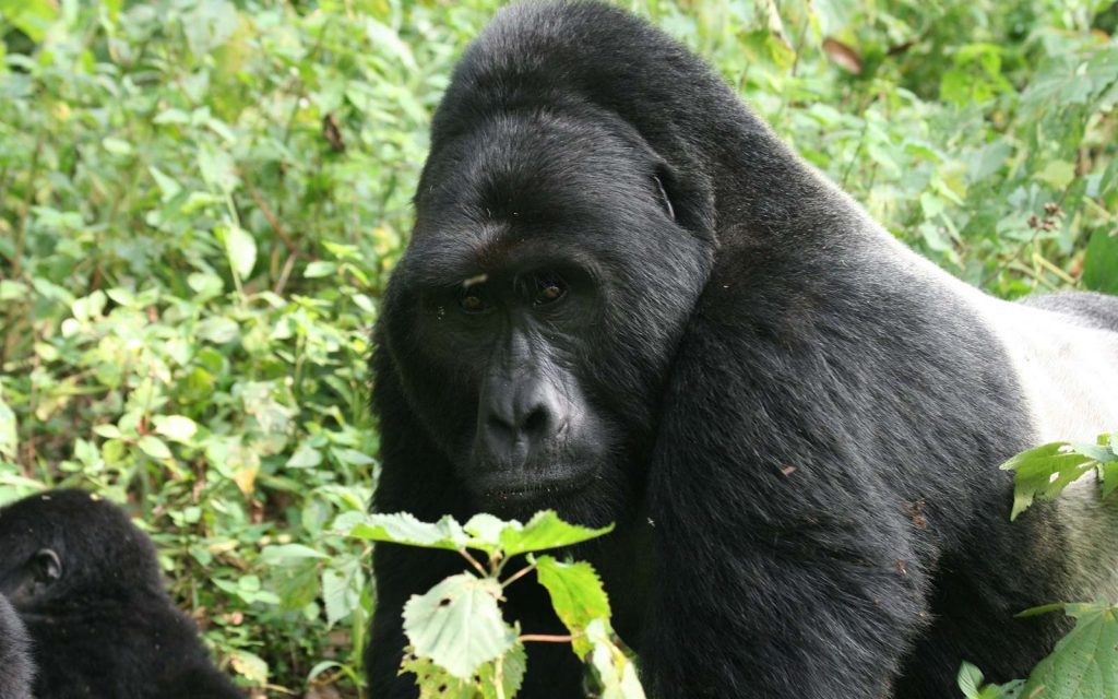 Gorilla Trekking in Uganda and Rwanda on an Africa safari