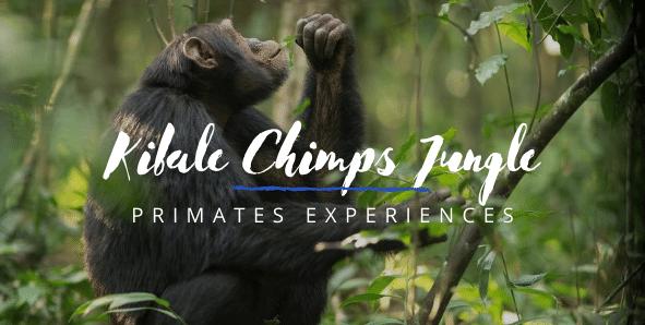 Kibale Forest Chimpanzee trekking Experiences