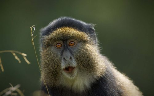 Golden Monkey Trekking in Uganda
