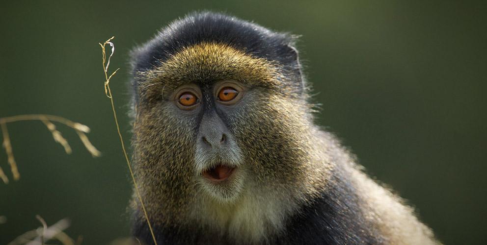 Golden monkey tracking in uganda