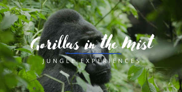 Gorillas in the mist, gorilla tracking in Uganda on Africa safari