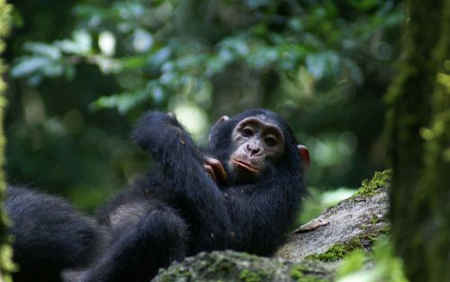 Kibale Forest Chimpanzee trekking Experience in Uganda