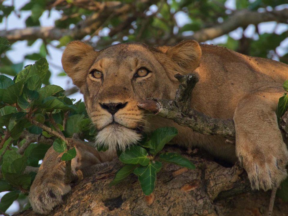 Tree climbing lions in Queen Elizabeth National Park of Uganda
