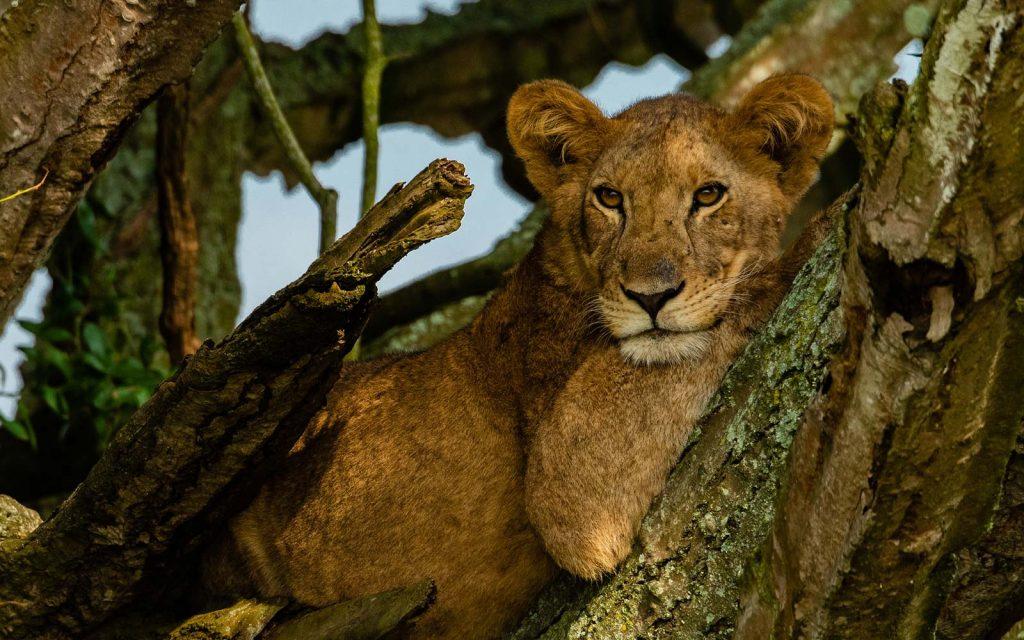 Tree climbing lions is Ishasha Sector of QENP, Uganda
