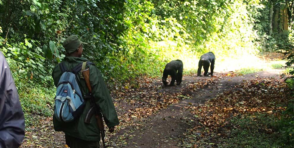 Chimp & Gorilla Habituation Experience