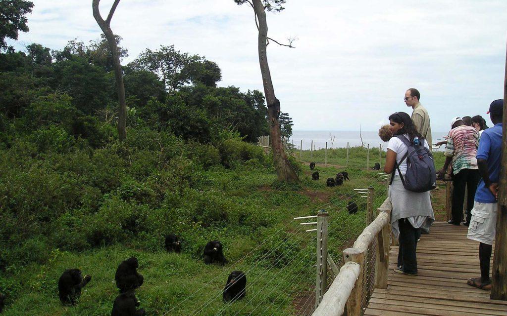 gamba island chimpanzee sanctuary in Uganda